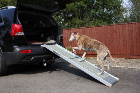 on ramp: Dog walking up ramp into car Stock Photo
