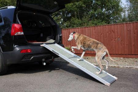 rámpa: Dog walking up ramp into car Stock fotó
