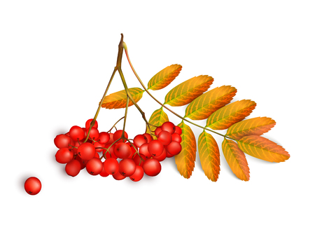 Realistic 3d mesh rowan branch isolated on a white . Rowan branch with orange leaves and ashberry isolated on a white illustration Illustration