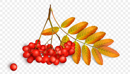 Rowan branch with orange leaves and ashberry. Illustration
