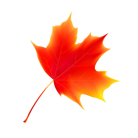 Isolated autumn leaves. Maple leaf. Autumn maple leaf isolated on a white background. Vector illustration 写真素材