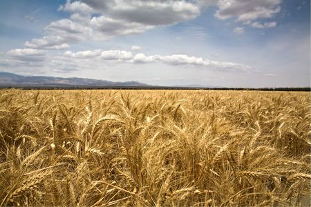 monoculture: This is a landscape photograph of a golden wheat field ready to harvest.