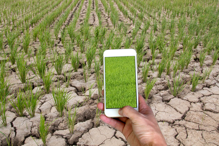 hand holding smart phone with green rice field on dry rice field