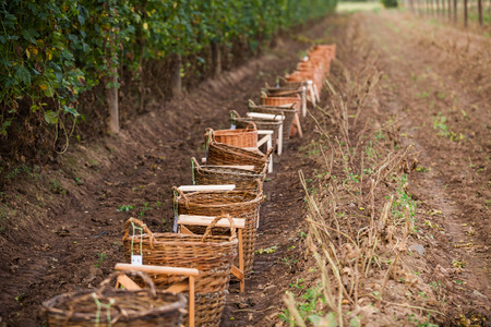 hop hops: Preparation for traditional hop picking activities in hop farm near Zatec in Bohemia, Saaz hops. Stock Photo