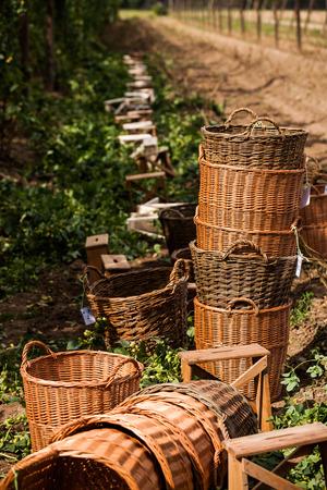 Preparation for traditional hop picking activities in hop farm near Zatec in Bohemia, Saaz hops. Stockfoto