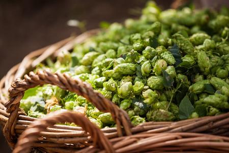 Fresh hops in basket on field near hop flowers Stockfoto