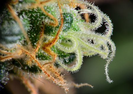 Closeup of mature cannabis indica female bud. Stock Photo