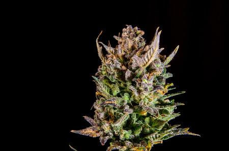 Big mature bud of female cannabis indica plant on black background. Archivio Fotografico