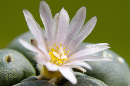 mescaline: Close up of pink blossom of Lophophora Williamsii - Peyote cactus