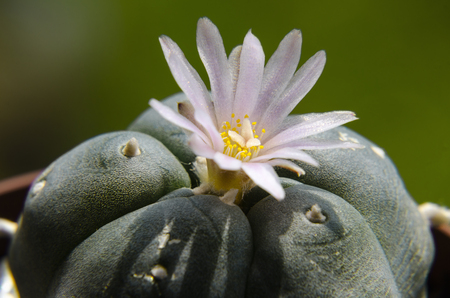 mescaline: Pink blossom of Lophophora Williamsii - Peyote cactus