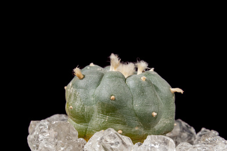 mescaline: Lophophora Williamsii - Peyote cactus on black background
