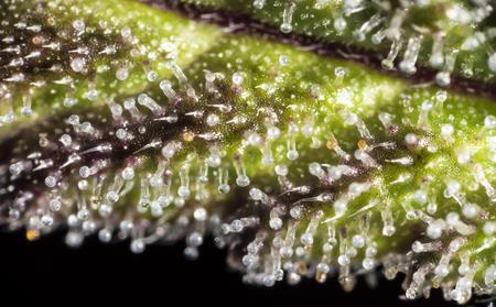 Macro closeup di tricomi sulla cannabis indica foglia. Archivio Fotografico - 75541175