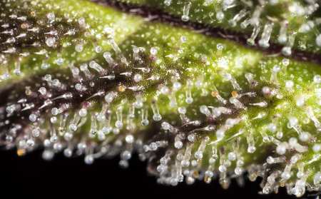 Macro closeup of trichomes on cannabis indica leaf.