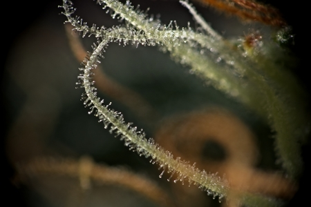 legalize: Macro closeup of trichomes on cannabis indica leaf and buds.