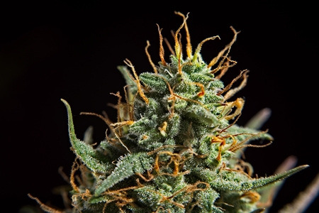 Top bud of green mature cannabis female plant with leaves and lot of trichomes.