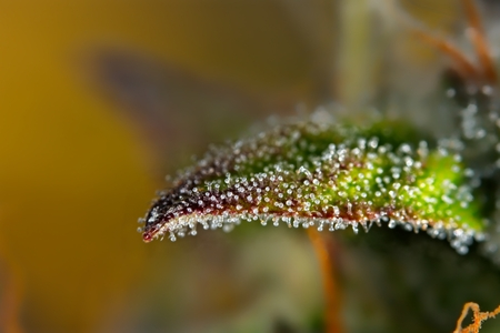 Macro close up of trichomes on female cannabis indica plant leaf, slightly violet.