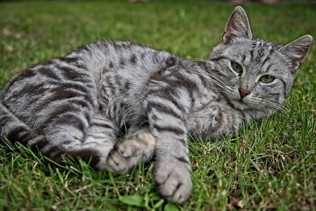 silver tabby kitten male cat in the grass stock photo picture and