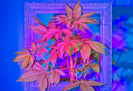 Young flowering female cannabis plant in old ornamental frame painted blue under red LED light.