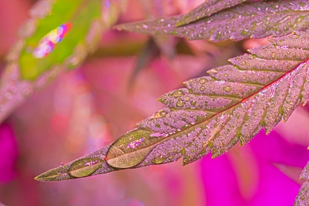Red wet cannabis leaf with drops of water under LED light. Selective focus. Archivio Fotografico - 115168151