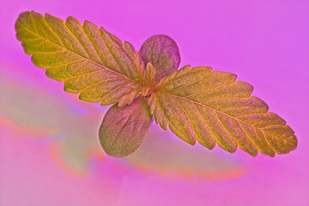 Macro of top of green and red young cannabis female plant seedling under LED light. Archivio Fotografico - 115168155