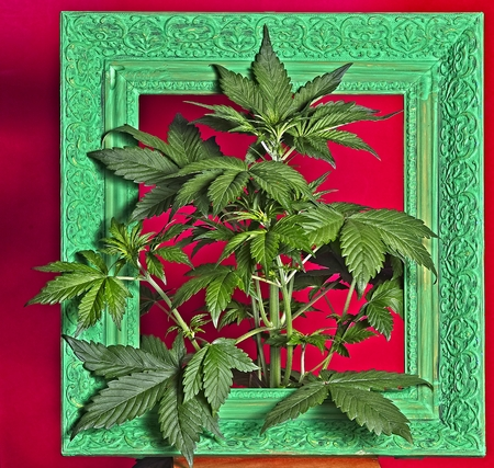 Young flowering female cannabis plant in old ornamental frame painted green. Archivio Fotografico - 115168280