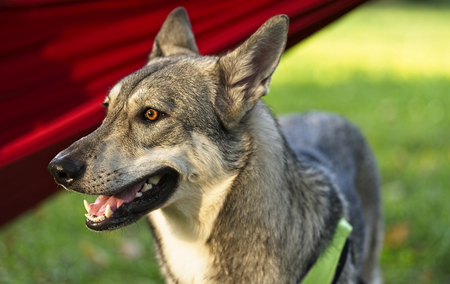 Saarloos wolfdog young female in a park with red hammock in backgound Archivio Fotografico - 115168358