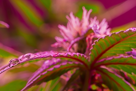 Red wet cannabis leaf with drops of water under LED light. Selective focus. Archivio Fotografico - 115168362