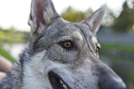 Saarloos wolfdog dog's head with river in background Archivio Fotografico - 115168836