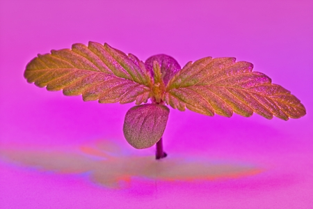 Macro of top of green and red young cannabis female plant seedling under LED light. Archivio Fotografico - 115168905