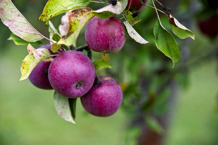 Red ripped organic apples on a tree in garden. Archivio Fotografico - 115168910