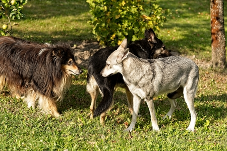 Saarloos wolfdog young female, other dog female and old collie male interacting outdoors. Archivio Fotografico - 115168928