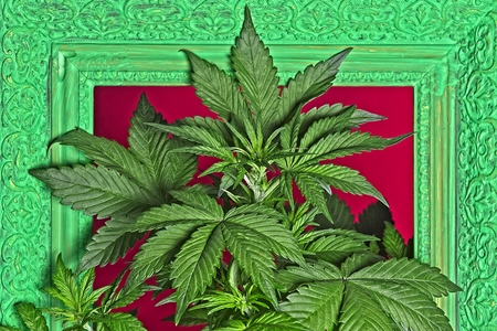 Young flowering female cannabis plant in old ornamental frame painted green. Archivio Fotografico - 115169134