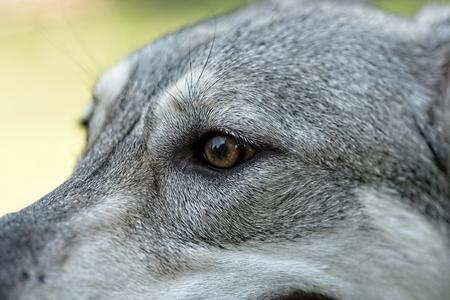 Saarloos wolfdog young female's head outdoors. Eye part detail. Archivio Fotografico - 115169135