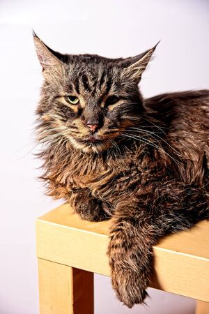 Portrait of old domestic Maine coon cat male laying on a table with white backgound. Zdjęcie Seryjne