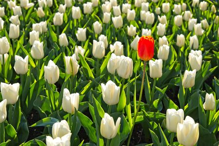 Single orange tulip among lot of pure white tulips in a field