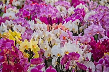 Full frame of red white purple and yellow  orchids (Orchideceae) in full bloom in morning sun in a dutch spring in April 2019.