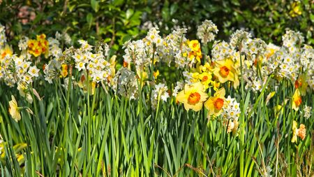 Strip field of yellow and white narcissusfool blooming in morning sun in a dutch spring in April 2019.