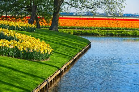 Curved field of yellow and white narcissus next to water canal with tulip fields in background in morning sun at Keukenhof park in a dutch spring in April 2019.