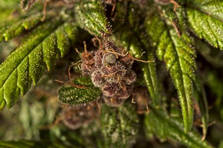 Macro close up of trichomes on nice light green and purple mature auto flowering cannabis plant buds.