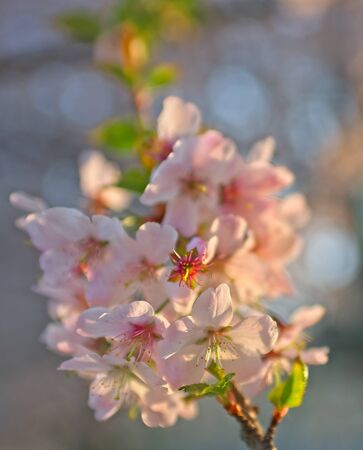 Close up of Sakura cherry tree blooming flower with pink cherry  trees background Zdjęcie Seryjne