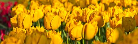Full frame of bright yellow dutch tulips in full bloom in morning sun.