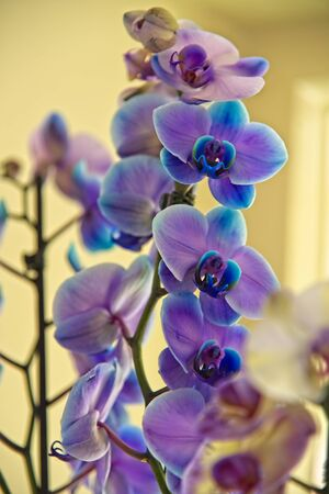 Beutiful blooming blue - white- purple - violet orchid (Orchideceae).