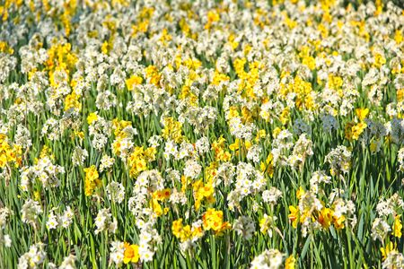 Full frame of field of yellow and white narcissusfool blooming in morning sun in a dutch spring in April 2019. Zdjęcie Seryjne