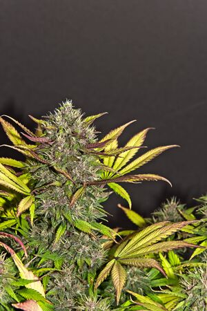 Top bud of blooming yellow and purple female cannabis indica plant on dark background