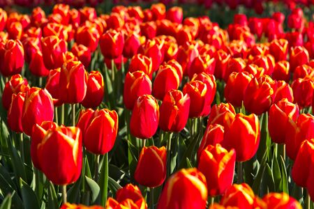 Full frame of red dutch tulips in bloom in morning sun in a spring.
