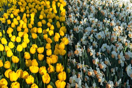 Hull frame Yellow tulips and half frame of white narcissus in morning sun Imagens