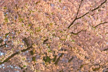 Full frame of blooming white and pink cherry sakura trees.
