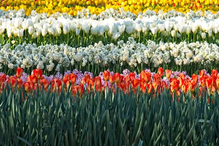 Horizontal stripes of pink Hyacinthus, Orange, white and yellow tulips and white Nacissus partly lit by sun.