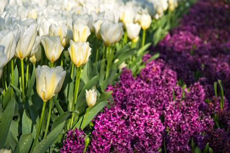 Half frame of pure white tulips diagonaly complemented by purple Hyacinthus in morning sun.