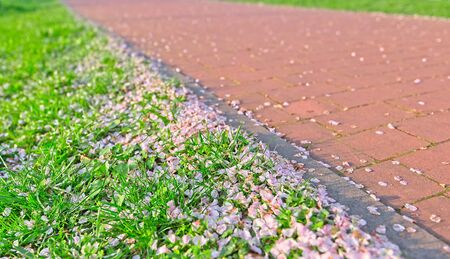 Sakura cherry petals in grass and on a path with copy space. Stockfoto